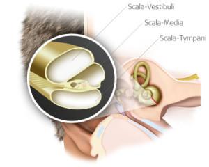 The scala vestibuli, scala media, and scala tympani are within the cochlea.